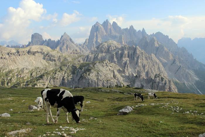 Alpetako Milka behiekin